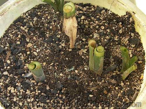 芋茎を切って準備中の今年のタルサトイモ