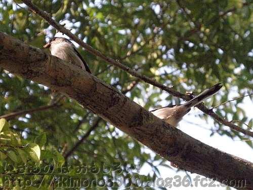 枝の上に並んだエナガ