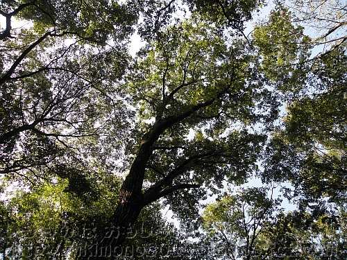 公園の代表的陽樹のコナラ