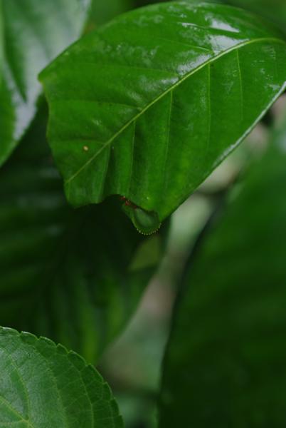 幼虫を探せ オオスカシバ編