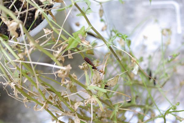 ツマグロヒョウモン 幼虫0723