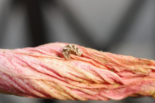 シジミの幼虫?