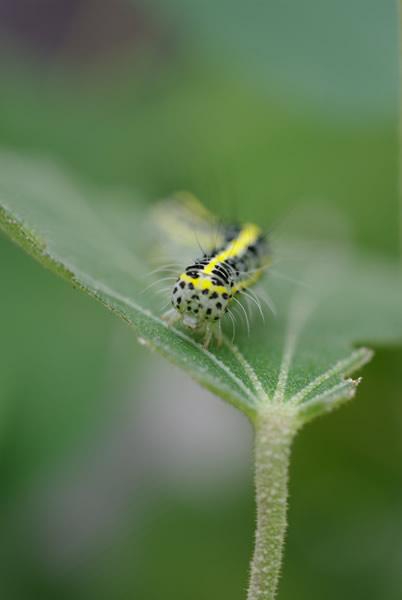 フタトガリコヤガ 幼虫