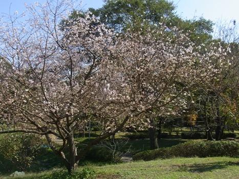 「城山公園の十月桜(1)」