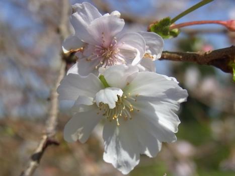 「城山公園の十月桜(2)」