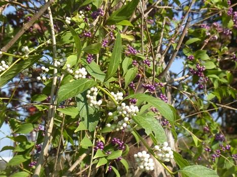 「シロミノコムラサキ ~白い果実の小紫」