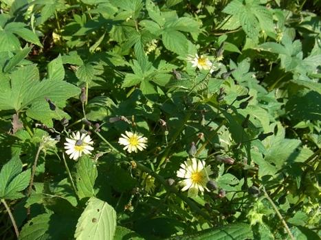 「アキノノゲシ ~淡黄色の花」