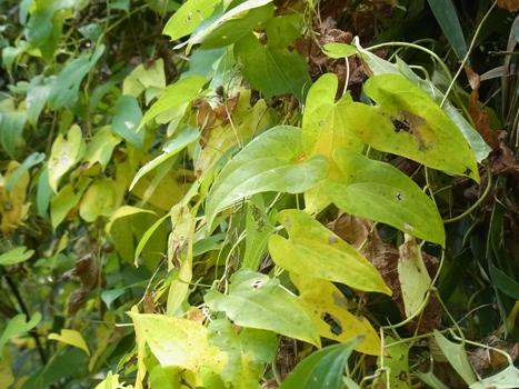 「ヤマノイモ ~秋の黄葉」