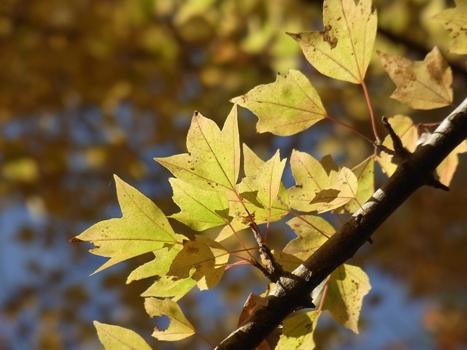 「トウカエデ ~三角形の葉(紅葉)」