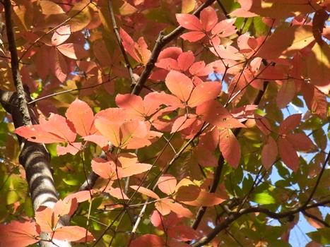 「メグスリノキ ~大きめの3出複葉(桃色葉)」