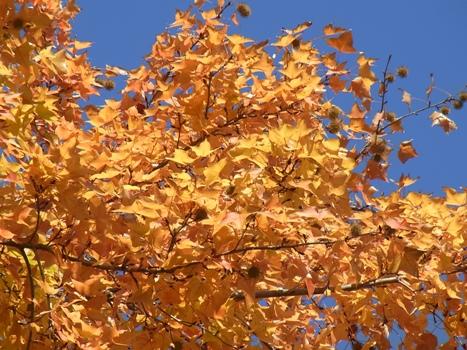 「フウ ~大型で3裂する葉(紅葉)」