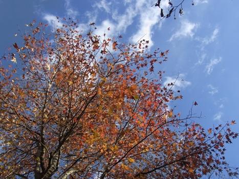 「モミジバフウと幼木の紅葉」