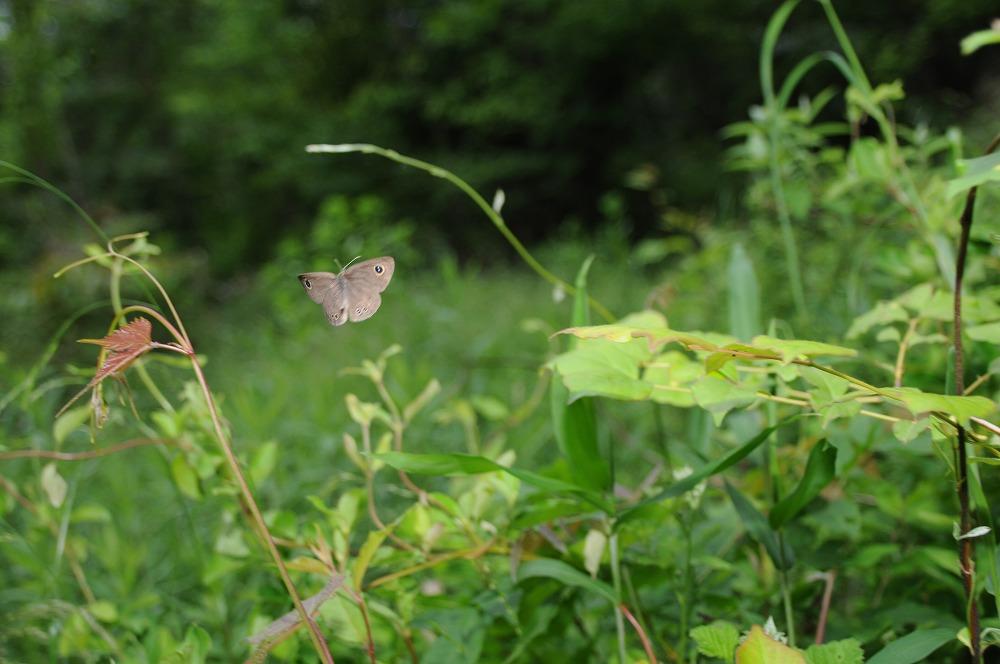 ヒメウラナミジャノメ 2010.05.25