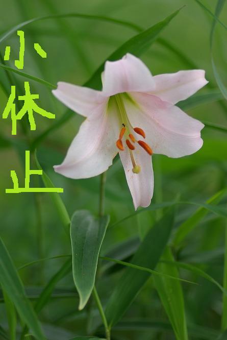 ササユリ 2010.06.19 1448