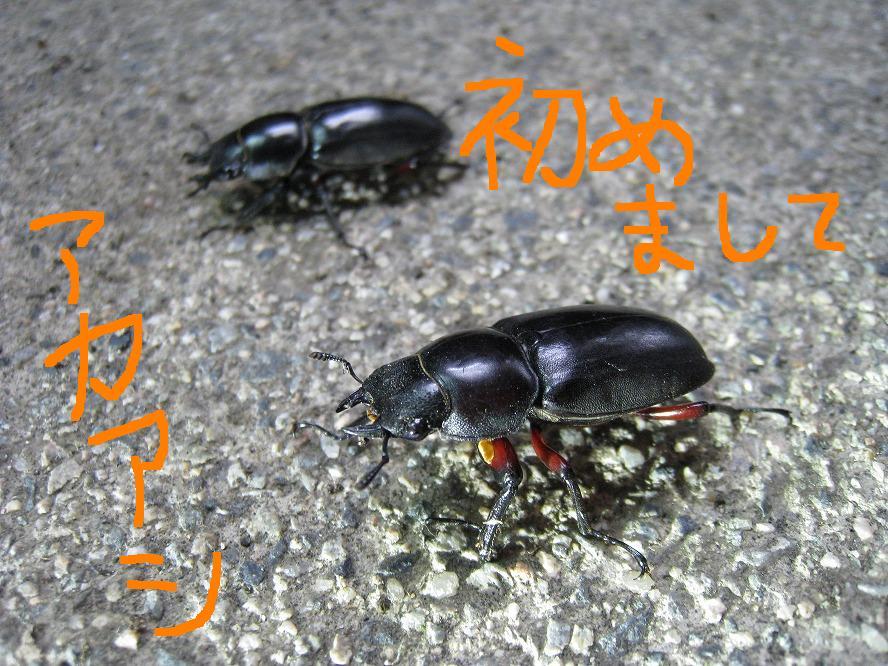 アカアシクワガタ 2010.07.05 2220
