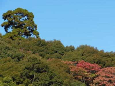 巨木と森の紅葉
