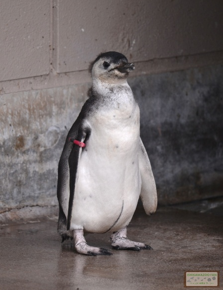 マゼランペンギン