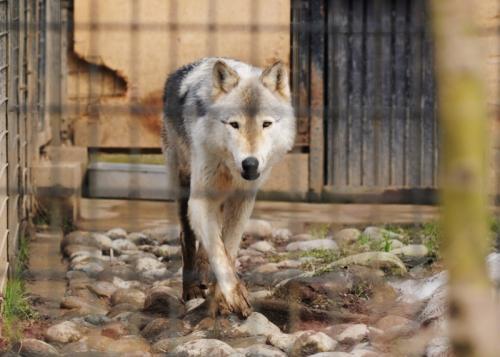 シンリンオオカミ(富山市ファミリーパーク)