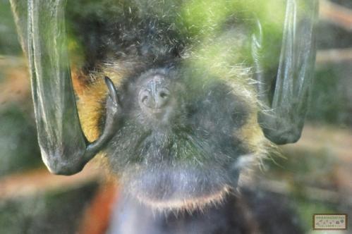 オリイオオコウモリ(富山市ファミリーパーク)