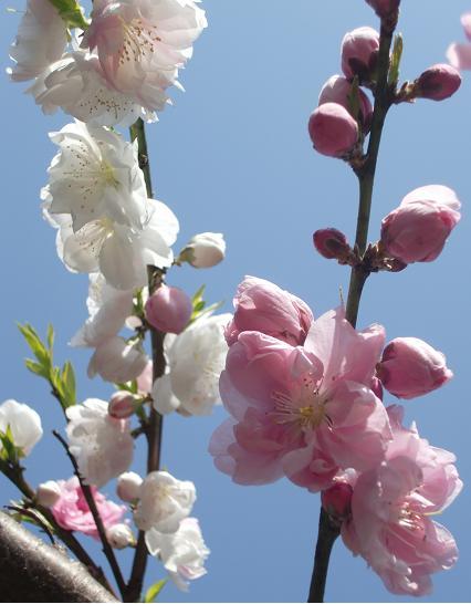 s実家しだれ桜