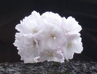s桜ショートケーキ.JPG