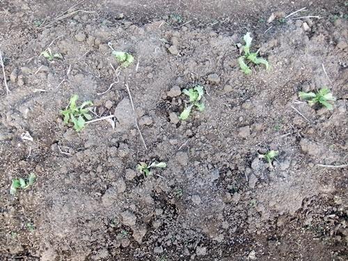 2013.12.15 ハウス野菜(育苗ハウス) 011 (11)