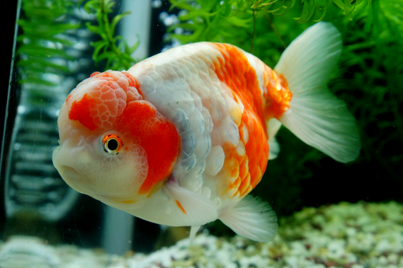 Goldfish and koi on pinterest goldfish koi and fish for Goldfisch und koi