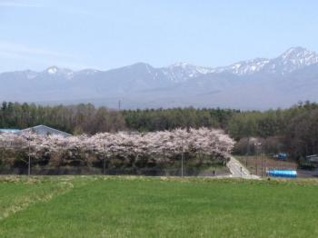 富士見の桜