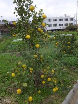 レモンを収穫♪