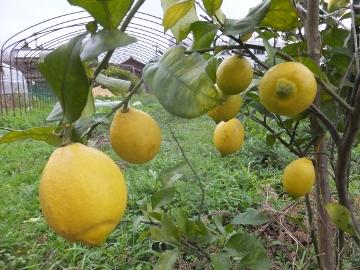 レモンを収穫♪2
