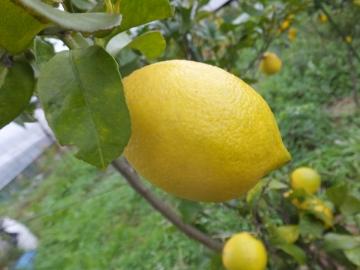 レモンを収穫♪3
