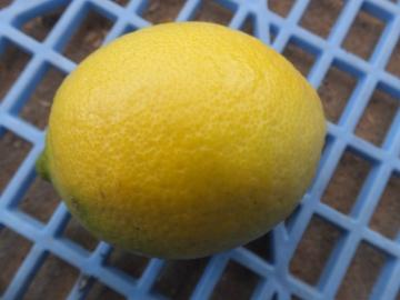レモンを収穫♪4