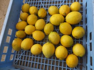 レモンを収穫♪6