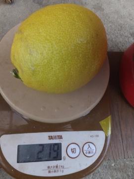 レモンを収穫♪7