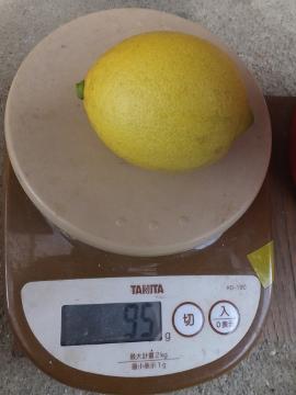 レモンを収穫♪8