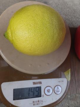 レモンを収穫♪9