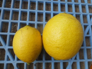 レモンを収穫♪10