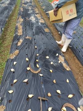 ジャンボニンニク植え