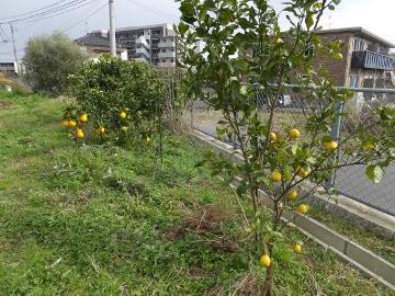 レモン他の柑橘