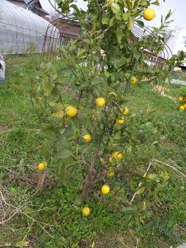 レモン他の柑橘2