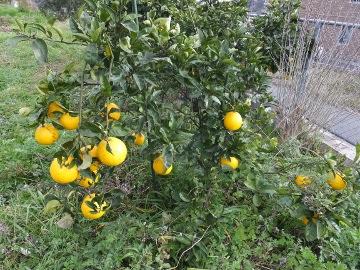 レモン他の柑橘3