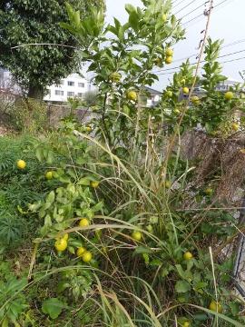 レモン他の柑橘4