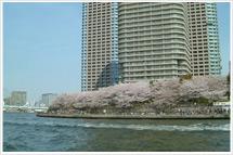 隅田川桜2