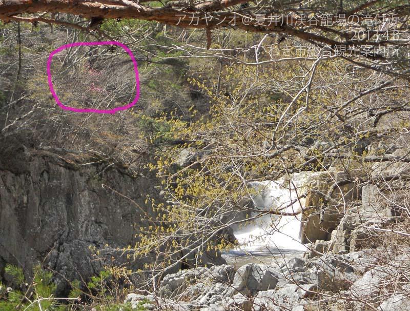 アカヤシオ 籠場の滝付近1