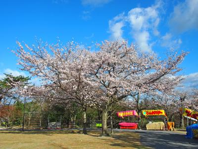 2013.4.8松ヶ岡公園2