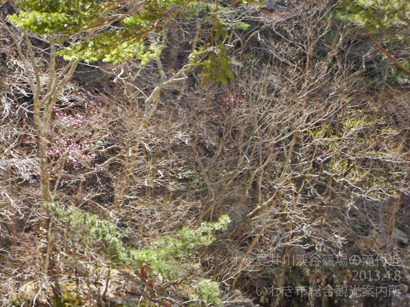 アカヤシオ 籠場の滝付近2