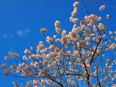 2013.4.8松ヶ岡公園3
