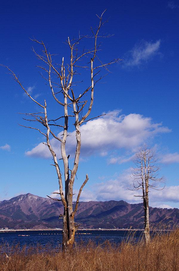 津波で枯れた木