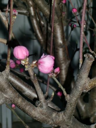 花桃つぼみ