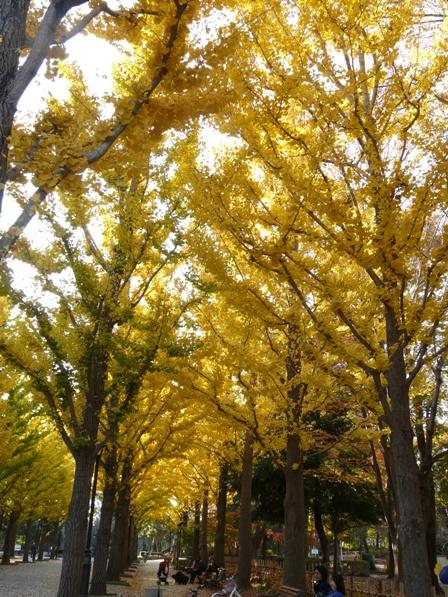 洞峰公園 イチョウ黄葉